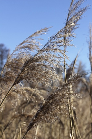 panicle: Panicle of Reed in Winter  Stock Photo