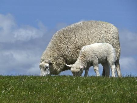 grassing: Ewe and lamb