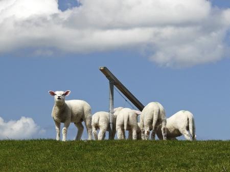 Lambs on on the Island  photo