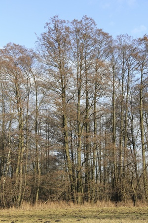 Alders in early spring photo