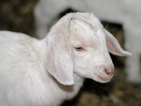 pelage: Young goat (Capra aegagrus hircus) in the stable Stock Photo