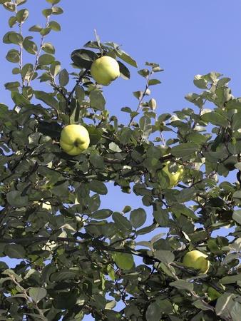 quinces: Ripe quinces on the tree, Cydonia oblonga