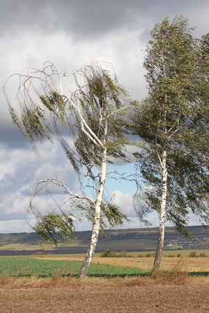 Two silver birch trees in the wind, nearby of the village Rannstedt in Thuringia, Germany. Stock Photo - 12119303