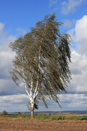 betula pendula: Silver birch tree in the storm, Thuringia in Germany