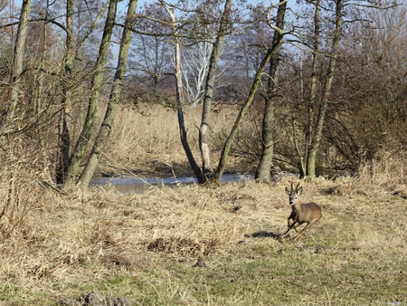 A fleeing roe buck in an alluvial forest photo