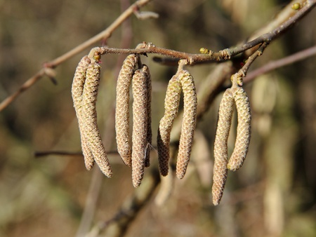 Catkins of Hazel tree, Corylus avellana, on a warmer winter day Stock Photo - 12569790