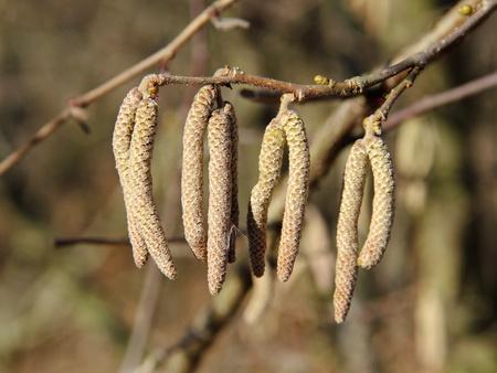 hazel tree: Catkins of Hazel tree, Corylus avellana, on a warmer winter day Stock Photo