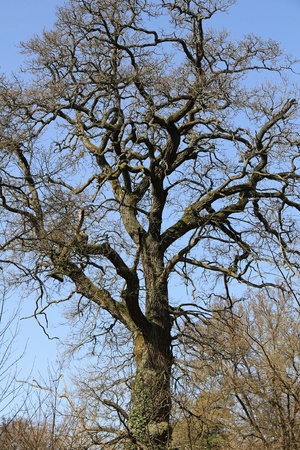 considerable: Considerable old oak (Quercus) at the former monastery in Chorin, Germany Stock Photo