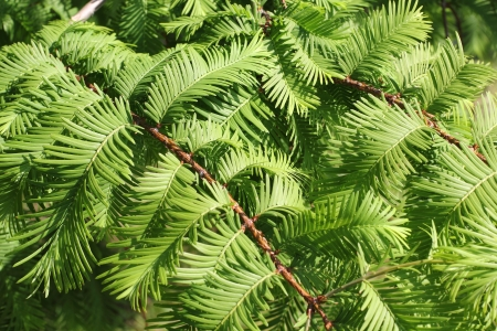 Branches of the Dawn Redwood, Metasequoia glyptostroboides photo