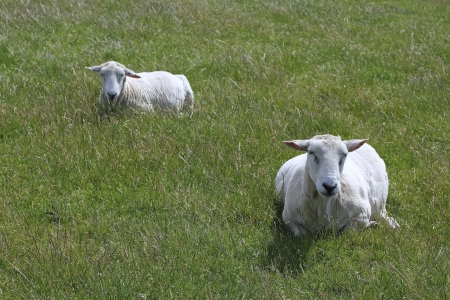 Two freshly sheared sheep lie in the grass on the Island of Sylt photo