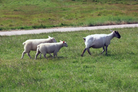 Shorn ewe with two lambs photo