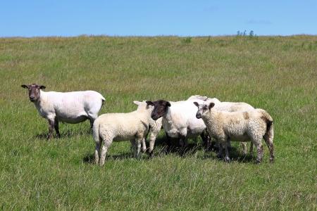 Sheared sheep with lambs on a dike photo