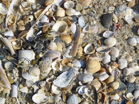 Seashells on the beach on the island of Sylt photo