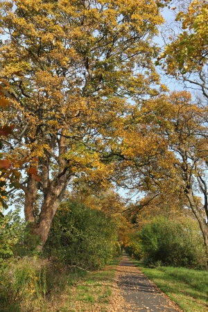 cycleway: Avenue of plane trees in autumn Stock Photo