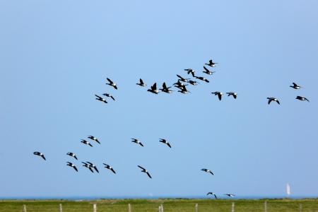 Brent geese in flight over the Hallig Hooge Stock Photo - 17271995