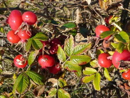 wilting: Escaramujos maduros y las hojas marchitas de Ramanas rosa, Rosa rugosa