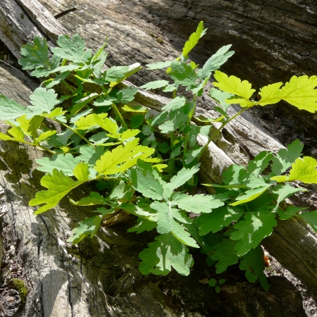 dead wood: The young green leaves of an oak grow on the dead wood of a fallen tree  Stock Photo