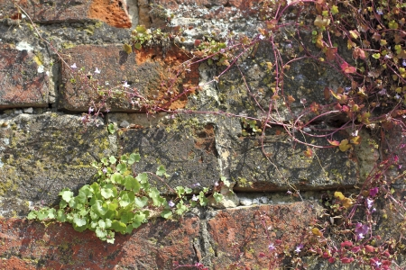 Ivy-leaved toadflax, Cymbalaria muralis at a brick wall Stock Photo - 22138024