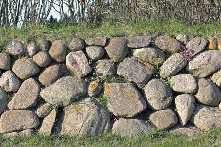 Frisian stone wall on the Island of Sylt with deadnettle photo