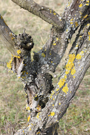 An old weathered tree with lichens