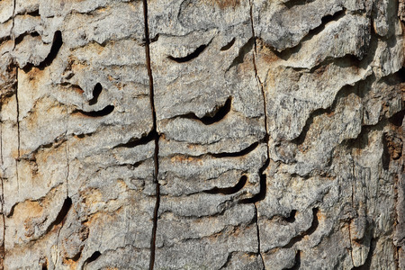 cerdo: Wormholes of the great capricorn beetle, Cerambyx cerdo Stock Photo