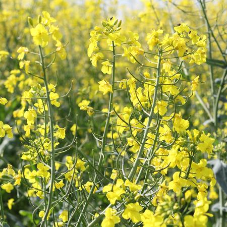 brassica: Rapeseed flowers, Brassica napus  Stock Photo