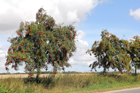 sorbus aucuparia: European rowan at roadside, Sorbus aucuparia Stock Photo
