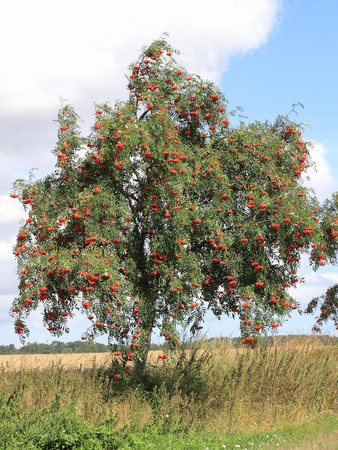 sorbus aucuparia: European rowan with ripe berries, Sorbus aucuparia