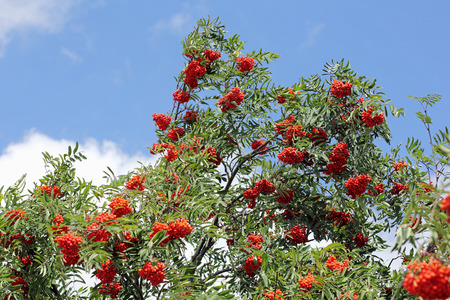 aucuparia: Branches with ripe Rowan-berries, Sorbus aucuparia Stock Photo