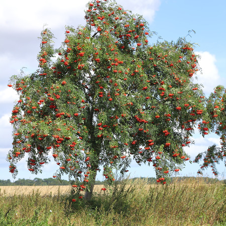 aucuparia: Rowan with ripe berries, Sorbus aucuparia