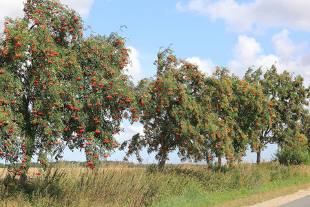 sorbus aucuparia: European Rowan at a country road, Sorbus aucuparia Stock Photo