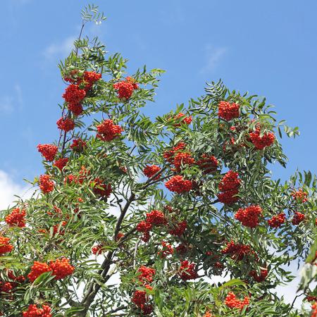 sorbus: Branches with ripe Rowan-berries, Sorbus aucuparia Stock Photo