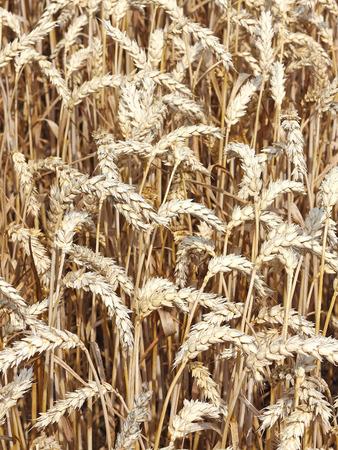 wheat kernel: Ripe wheat on a field