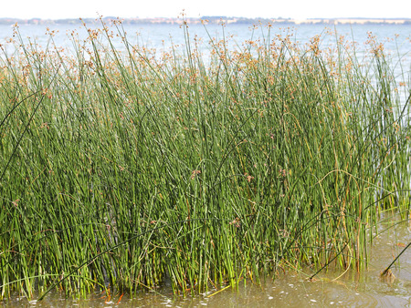 rushes: A tussock of Juncus effusus Soft rushes Stock Photo