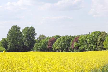 biodiesel plant: Blooming canola field and trees in spring