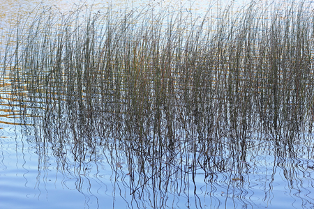 rushes: Rushes reflected in a lake