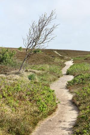 windswept: Path in the heath and windswept tree