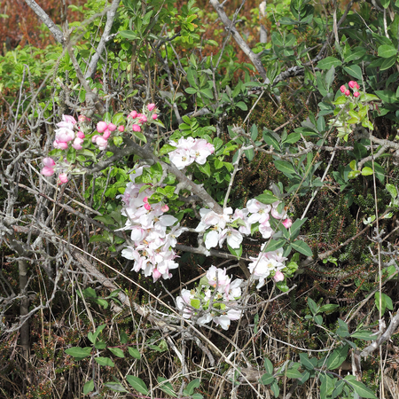 black moor: Blossoms of an overgrown apple tree in the heath Stock Photo