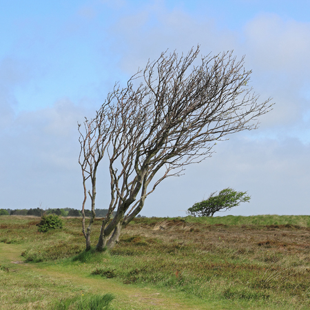 windswept: Windswept trees in the Braderup Heath on the island of Sylt
