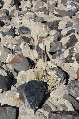 stabilization: European beach grass grow between stones  of a shoreline stabilization