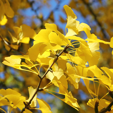 Leaves of Ginkgo tree in autumn - close-up photo, selected focus, narrow depth of field