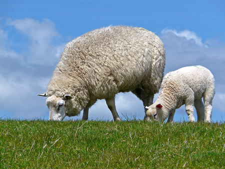 grassing: Ewe and lamb graze on a dyke at the North sea coast Stock Photo
