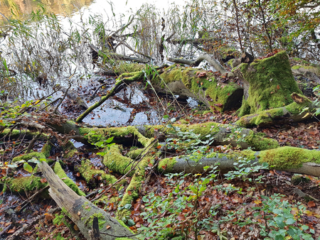 Fallen moss-covered trunks at lakeside Stock Photo