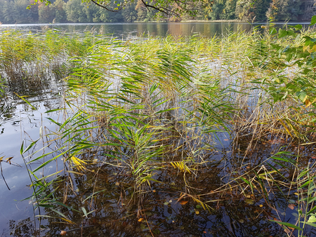 Reed at lakeside in autumn