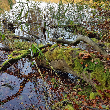 Fallen moss-covered tree on a lakeshore