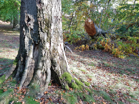 Storm damage in a beech forest north of Berlin