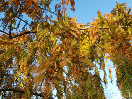 Autumnal branches of Dawn Redwood in evening light Stock Photo