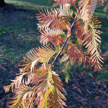 Autumnal twig of Dawn Redwood in evening light