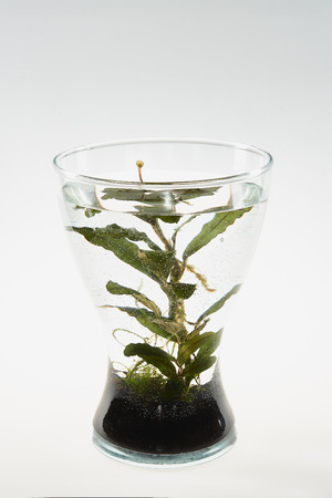 Vase with soil, water and a growing aquarium plant. The plant blooms above the water.