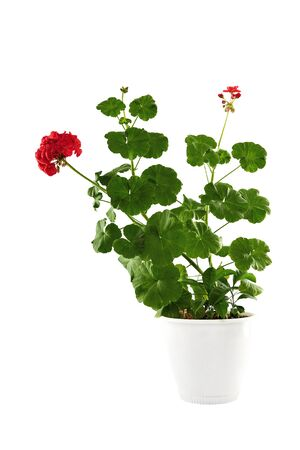 Blossoming geranium in a white pot. Isolated on a white background.